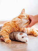 Women strokes cute ginger cat lying on floor with favorite toy - plush ferret. Fluffy pet on cozy home background.
