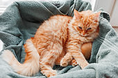 Cute ginger kitten dozing in its bed with toy ball. Fluffy pet has a nap hugging favorite toy.