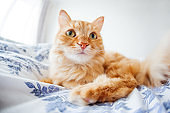 Cute ginger cat with funny expression on face lies on bed. The fluffy pet comfortably settled to sleep or to play. Cute cozy background, morning bedtime at home. Fish eye lens effect.