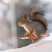 red squirrel with  Snowboard in the air