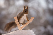 red squirrel jumping on skis in air