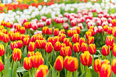Soft focus colorful Tulip flower garden at the spring time