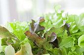 Closeup isolate fresh lettuces