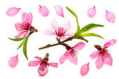 Cherry blossom, sakura flowers isolated on white background. Top view. Flat lay pattern