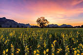 beautiful landscape sunset scene in cosmos field and tree