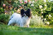A dog in a rose garden