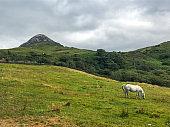 The Connemara pony is a pony breed originating in Ireland