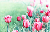 Beautiful flower spring and summer background with red tulips