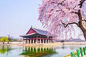 Cherry blossom of Spring in Gyeongbokgung Palace. Seoul, South Korea .
