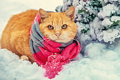 Red cat wearing scarf sitting outdoors in snowy winter near a fir tree