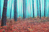 Autumn pine forest in the misty morning