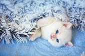 A cute little white kitty covered with a fluffy blanket