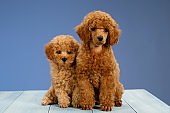 Two cute brown poodles puppies