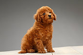 Cute brown miniature poodle puppy sitting on wooden floor on gray background