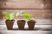 cucumber seedlings on a wooden background