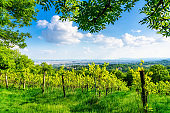 Vineyards in Austria near Vienna