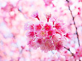 Pink cherry blossoms or Sakura flower are blossoming beautiful for  background and wallpaper.