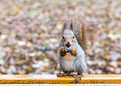 young squirrel sitting on bench with a nut against blurred background