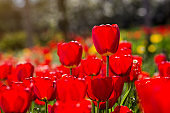 Group of  beautiful red tulips growing in the garden lit by sunlight on springtime as flowers concept