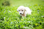 White puppy in the grass