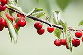 Cherry branch , ripe cherries blurred background