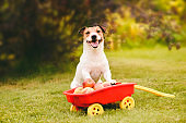 Thanksgiving concept with cute dog and harvest of apples in pull cart