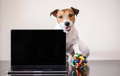 Work-life balance concept with dog with toy ball under paw interrupting work of self-employed person