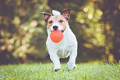Happy pet dog running and playing fetch game with toy ball
