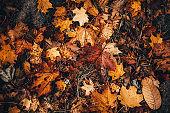 Orange autumn leafs on the ground