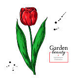 Tulip red flower and leaves drawing. Vector hand drawn floral object.