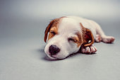 Jack Russell Terrier puppy sleeping
