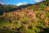 Sakura forest flowering in sping