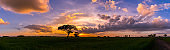 Panorama silhouette tree in africa with sunset.Tree silhouetted against a setting sun.Vivid colorful clouds sky.