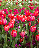 Floral Spring Flower Colorful Tulips