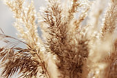 close up of dry reed grass golden flower, selective focuse