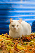 cute white cat sitting in autumn fallen yellow leaves