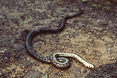 dead poisonous snake