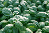 Fresh basil. Green basil. Green basil Food background. A lot of basil.