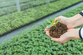 Young Female Hands holding Seedling with ground in a greenhouse.