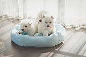 Group of siberian husky puppies on pet bed
