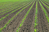 Rows of young green corn plants. Corn seedling on the field.