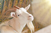 Agriculture breeding goats. White goat portrait