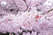 Cherry blossoms scene