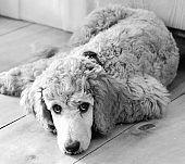 Kennedy Puppy
