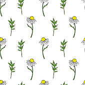 Seamless floral pattern, Chamomile wild field flower isolated on white background, hand drawn daisy sketch vector illustration for design package tea, organic cosmetic, natural medicine, greeting card