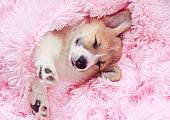 funny cute puppy sleeps sweetly in bed wrapped in a soft pink fluffy blanket with his eyes closed and sticking out his paws