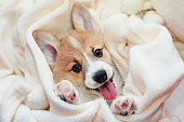 cute homemade corgi puppy lies in a white fluffy blanket funny sticking out his face and paws