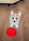 view from above on a cute funny puppy stands on the floor next to an empty bowl and asks eating