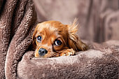 Cute puppy on the blanket