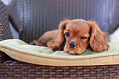 Cute puppy lying on the chair